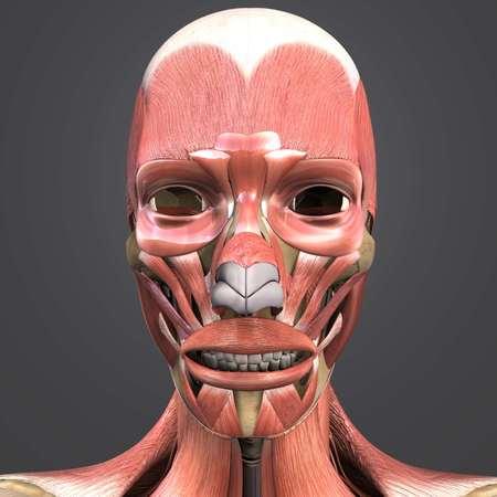Facial muscles and bones