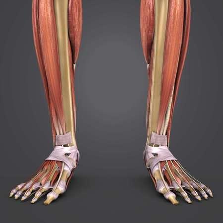Leg Muscles with bones closeup 写真素材