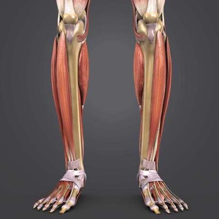 Leg Muscles with bones