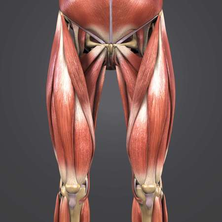 Muscles and bones of Hip and Thigh Anterior view