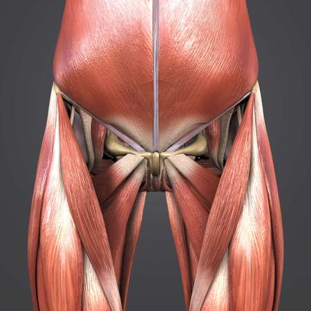Muscles and Bones of Hip and Thigh