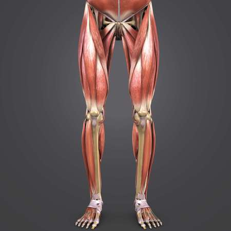 Lower Limbs muscles Anterior view