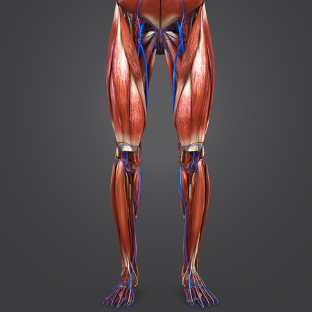 Lower Limbs with Blood vessels Anterior view 写真素材 - 102093328