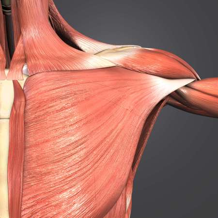 Shoulder Muscles and bones