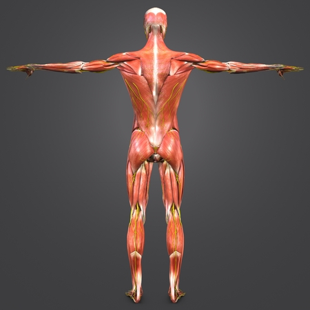 Human Muscular Anatomy with nerves Posterior view 写真素材 - 102093332