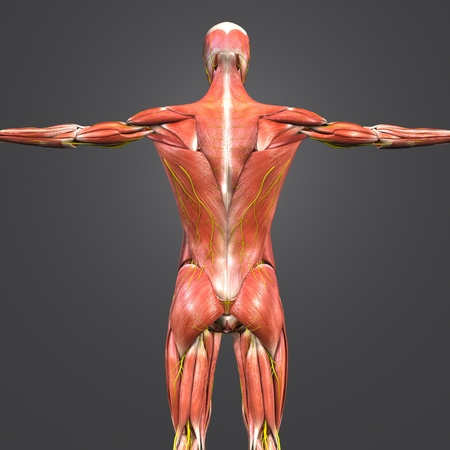 Human Muscular Anatomy with nerves Posterior view