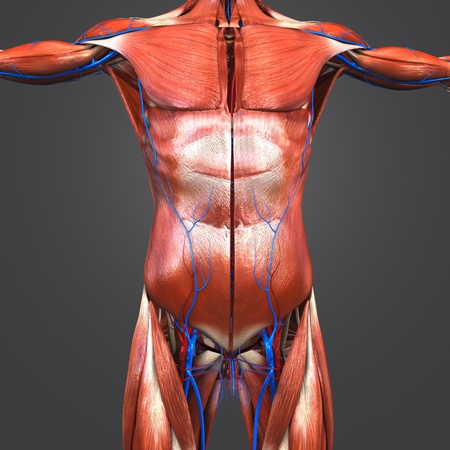 Human Anatomy Muscles with Blood vessels