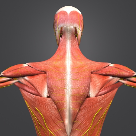 Human Muscular Anatomy with nerves Posterior view Closeup Stock Photo