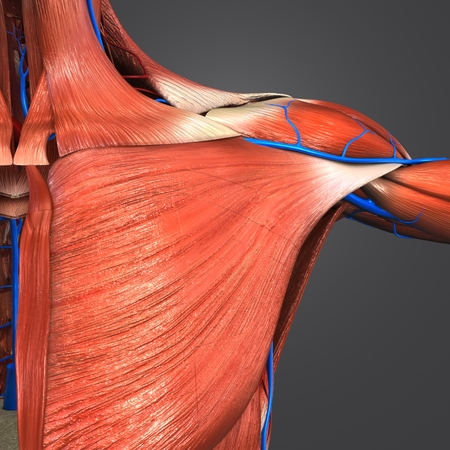 Shoulder Muscles with Blood vessels Imagens
