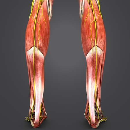 Muscles of Leg with Nerves Posterior view