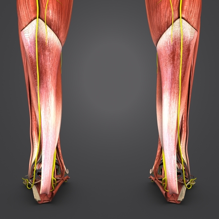 Muscles of Leg with Nerves Posterior view closeup