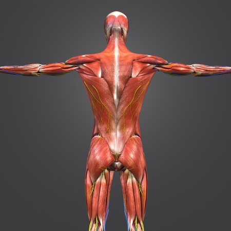 Human Muscular Anatomy with Blood vessels and Nerves Posterior view Imagens