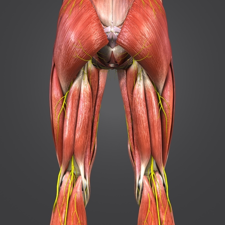 Lower Limbs Muscles Anatomy With Nerves Posterior View Stock Photo ...