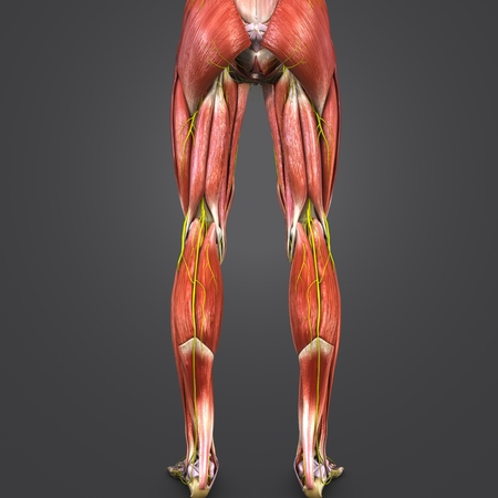 Lower Limbs muscles anatomy with Nerves Posterior view 写真素材 - 102093344