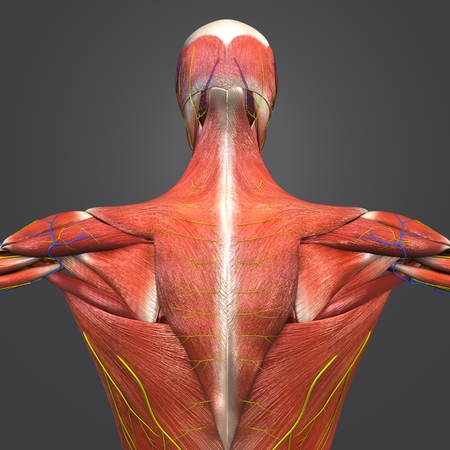 Human Muscular Anatomy with Blood vessels and Nerves Posterior view 写真素材