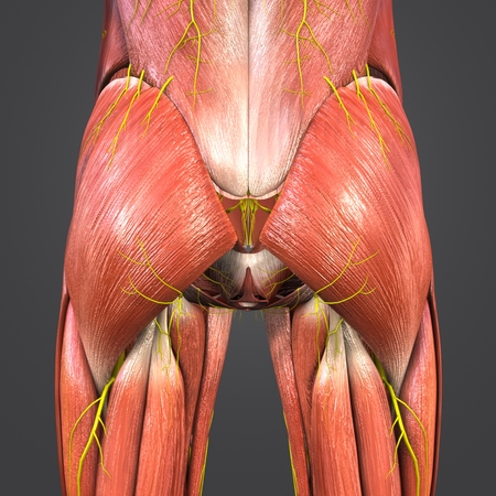 Hip Muscles anatomy with Nerves posterior view Imagens