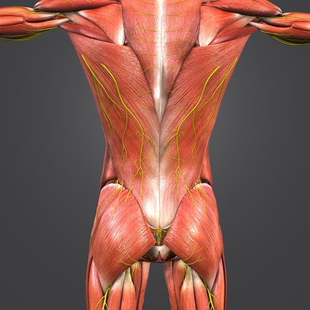 Muscles at vertebral column with Nerves 写真素材 - 102093367