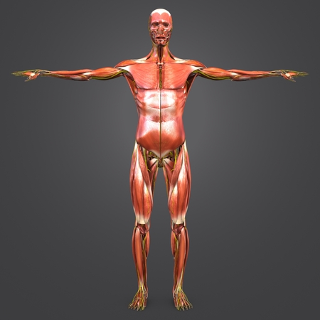 Human Muscular Anatomy with nerves Anterior view 写真素材 - 102093369