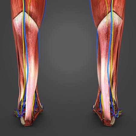 Muscles of Leg with Blood vessels and Nerves Posterior view closeup