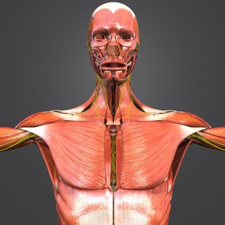 神経前視を有する筋肉解剖学