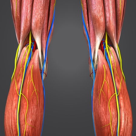 Knee joint with Blood vessels and Nerves Posterior view