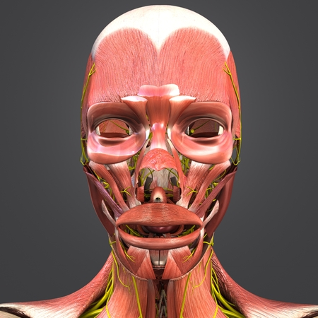 Facial Muscles anatomy with Nerves