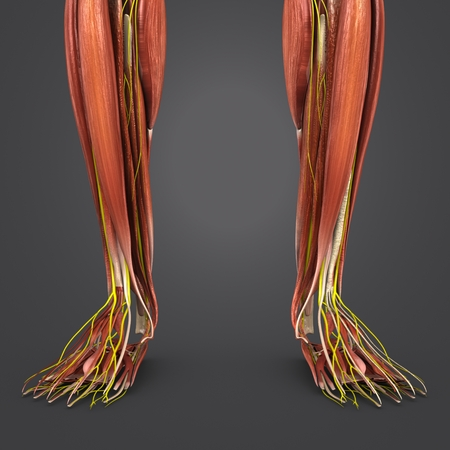 Leg Muscles anatomy with Nerves closeup