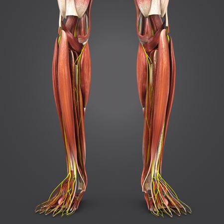 Leg Muscles anatomy with Nerves