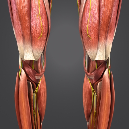 Knee joint Muscles anatomy with Nerves
