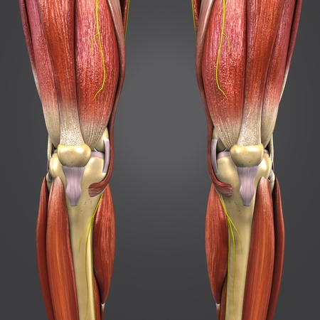 Knee joint muscles and skeleton with Nerves Anterior view Imagens