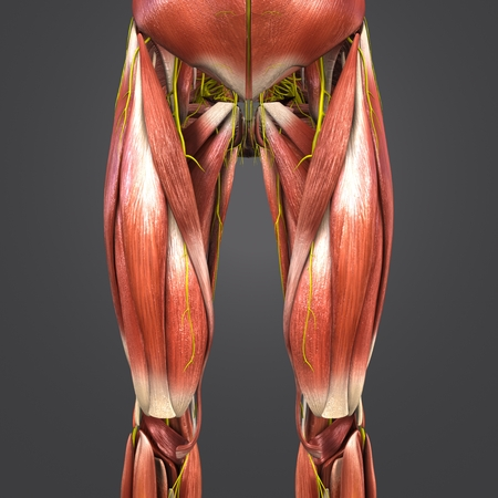 Muscles anatomy with Nerves of Hip and Thigh Anterior view