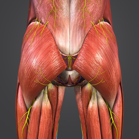 Hip Muscles Anatomy With Blood Vessels And Nerves Stock Photo ...