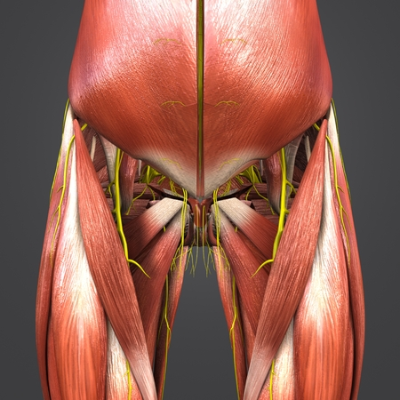 Muscles Anatomy With Nerves Of Hip And Thigh Stock Photo Picture