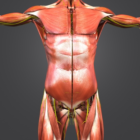 Human Anatomy Muscles with Nerves Stock Photo