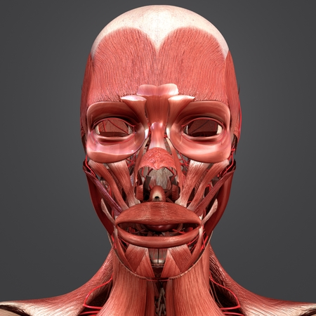 Facial Muscles with Arteries 写真素材