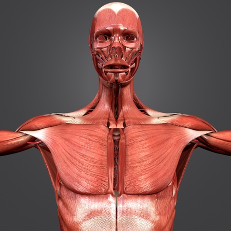 Muscular Anatomy with Arteries