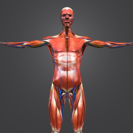 Human Muscular Anatomy with Blood vessels and Nerves Anterior view