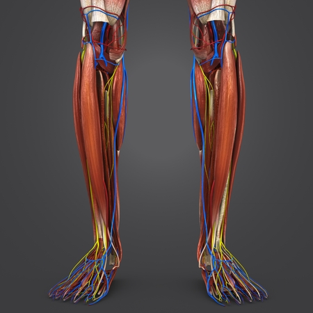 Leg Muscles with Blood vessels and Nerves
