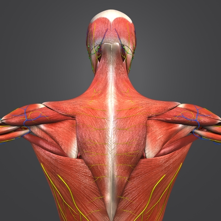 Human Muscular Anatomy with Blood vessels, nerves and Lymph nodes Posterior view Closeup Stock Photo