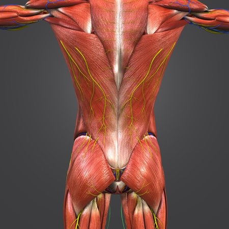 Muscles at vertebral column with Blood vessels, Nerves and Lymph nodes