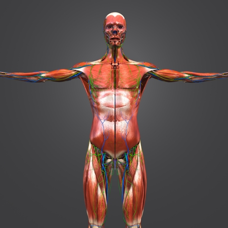 Human Muscular Anatomy with Blood vessels, Nerves and Lymph nodes Anterior view Banque d'images - 101899549