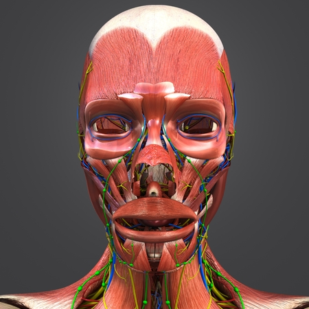 Facial Muscles Anatomy With Blood Vessels, Nerves And Lymph Nodes ...