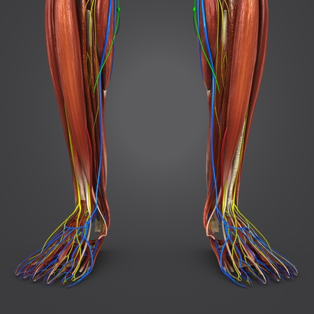 Leg Muscles Anatomy With Blood Vessels Nerves And Lymph Nodes