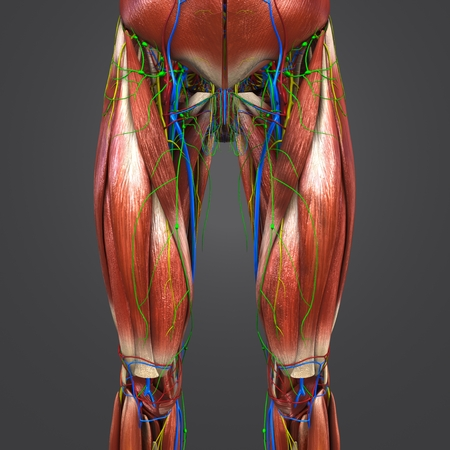 Muscles Anatomy With Blood Vessels, Nerves And Lymph Nodes Of ...