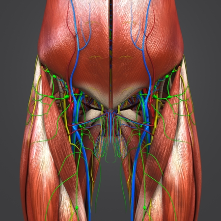 Muscles Anatomy With Blood Vessels Nerves And Lymph Nodes Of