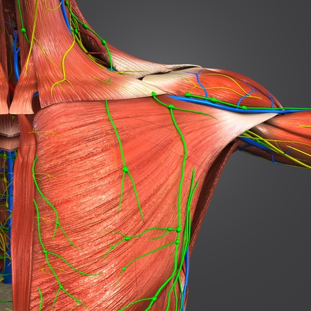 Shoulder Muscles with Circulatory System, Nerves and Lymph nodes 写真素材