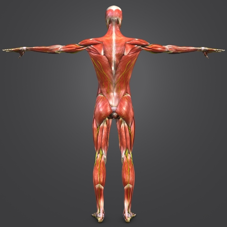 Human Muscular and Skeletal Anatomy with Nerves Posterior view