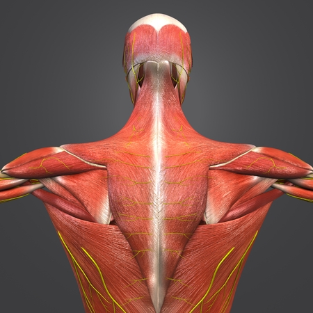 Human Muscular and Skeletal Anatomy with Nerves Posterior view Closeup Stockfoto