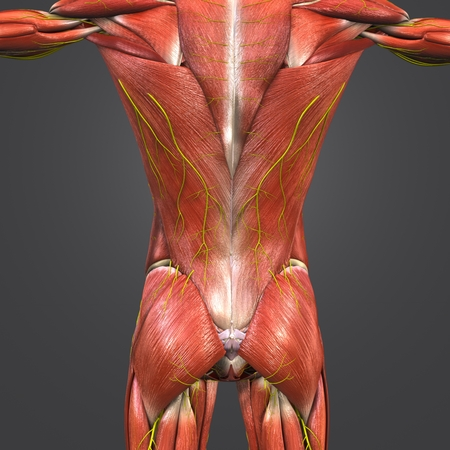 Muscles and Bones at vertebral column with Nerves