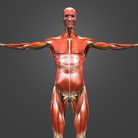 Human Muscular and Skeletal Anatomy with Nerves Anterior view